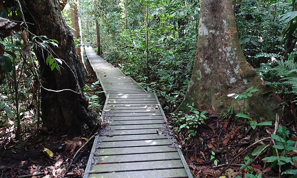 auf dem Holzbretterpfad durch den Dschungel
