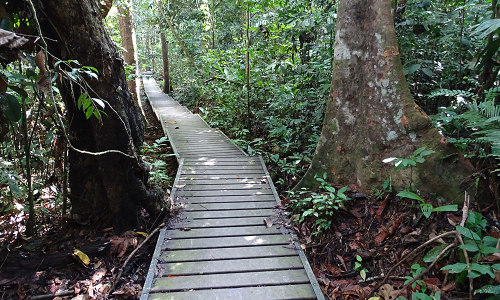 Boardwalk im Regenwald