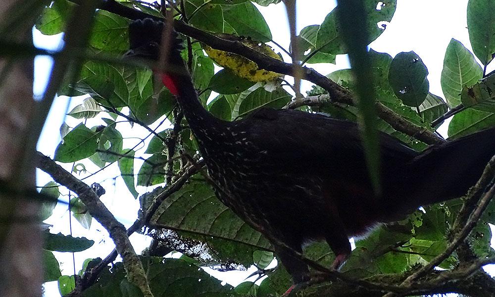 Schwarzer huhnähnlicher Vogel