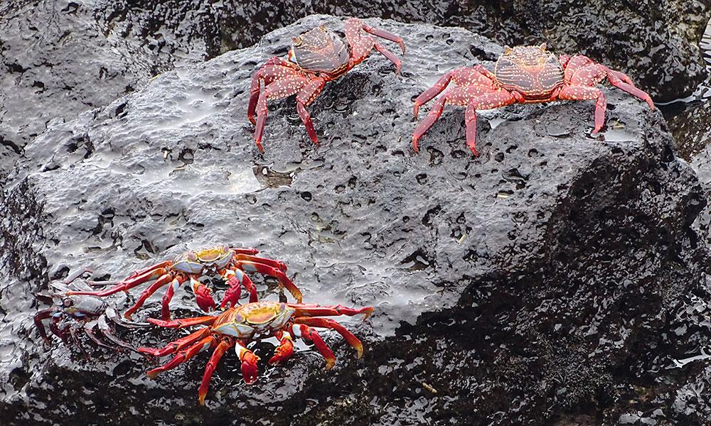 4 rote Krabben am Felsen