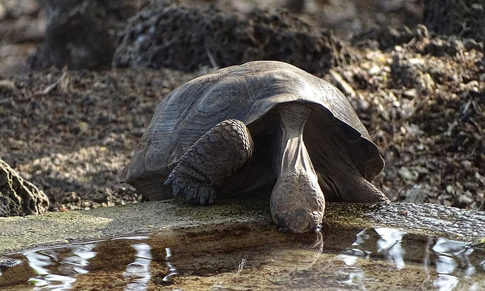 Schildkröte, die trinkt
