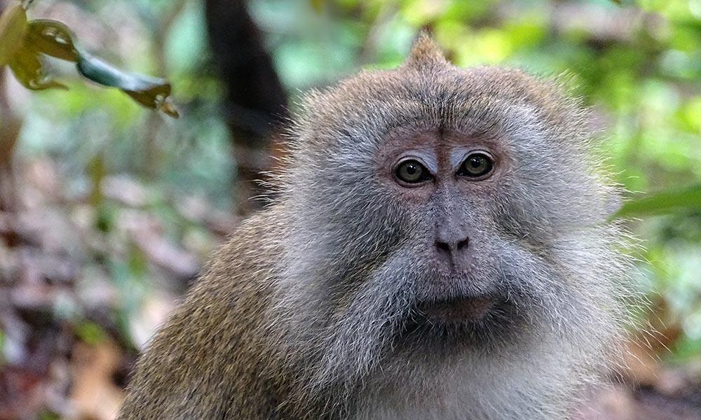 Affe schaut direkt in Kamera