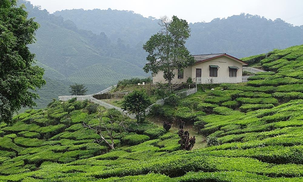 Haus auf Teefeldern in den Cameron Highlands