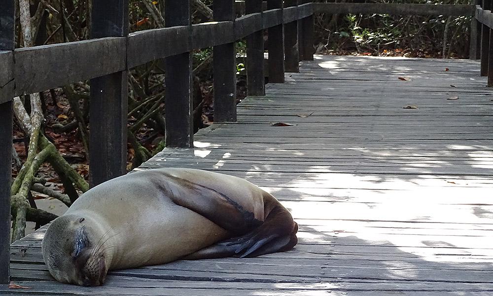 Seelöwe schläft auf Holzweg