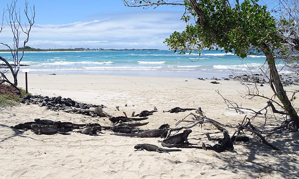 Strand mit Meerechsen