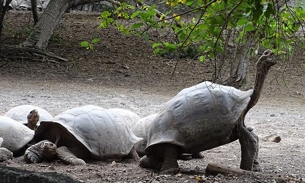 Schildkröte frisst Blätter vom Baum