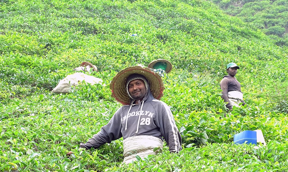 Teepflücker im Feld