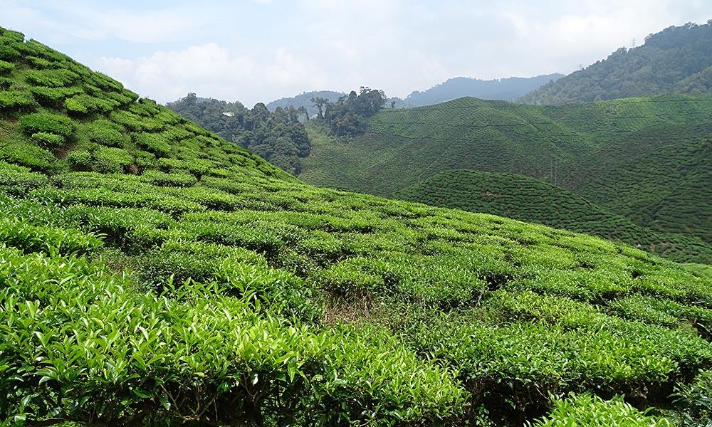 Grüne Teefelder