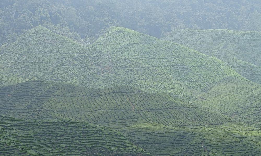 Teefelder im Nebel