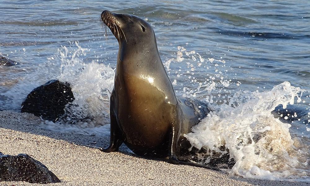 Seelöwe am Strand im Wasser