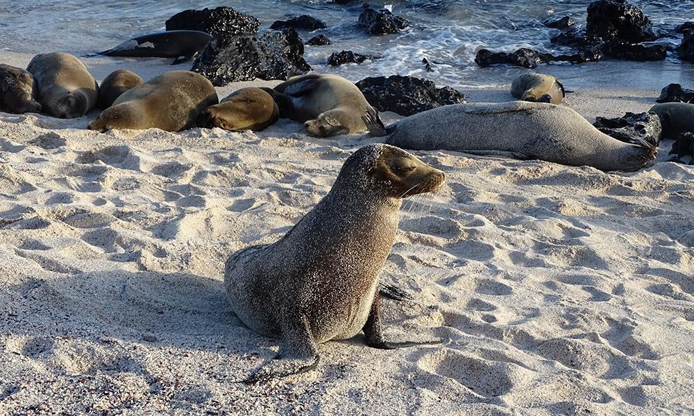 Kleiner Seelöwe voll mit Sand