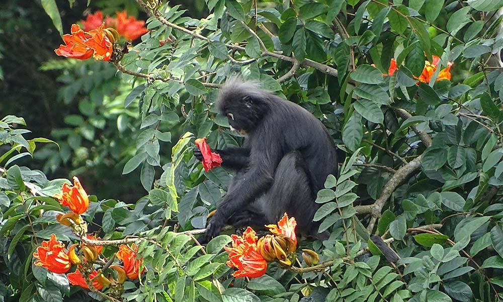 Affe im Baum voller Blüten