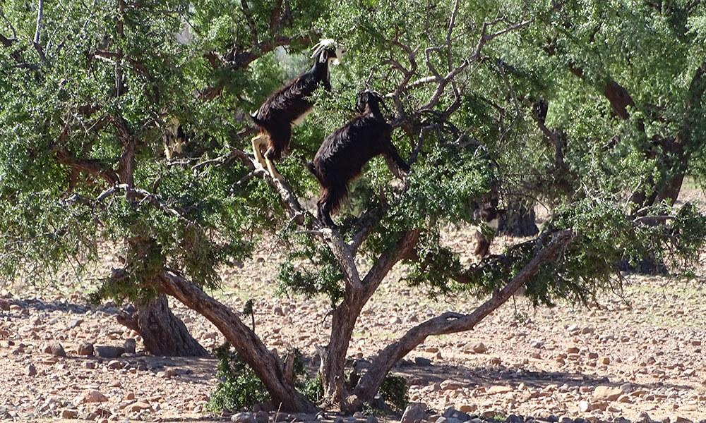 Ziegen klettern auf einem Baum