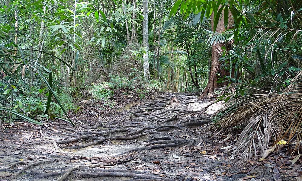 Weg mit vielen Wurzeln im Penang Nationalpark.