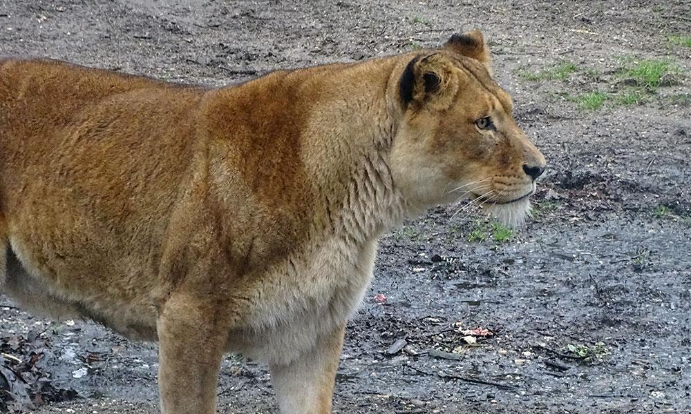 Löwin schaut
