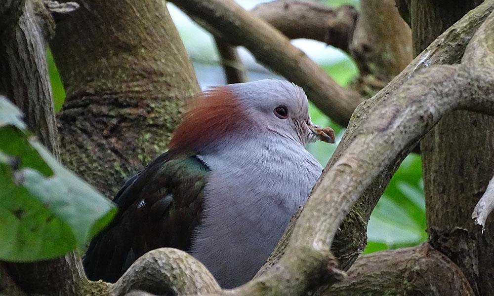 Grauer Vogel mit rotem Schopf
