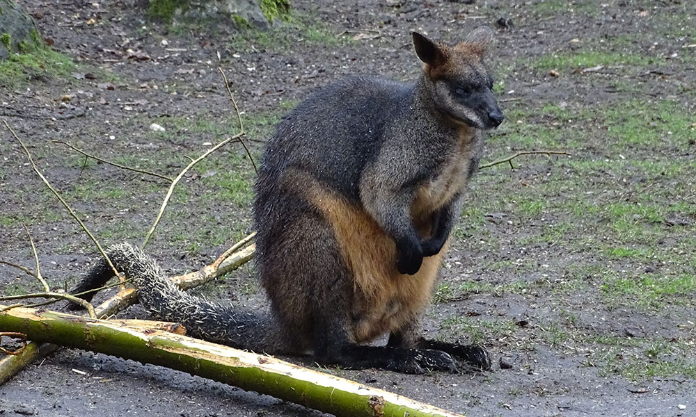 Wallaby im Burgers Zoo