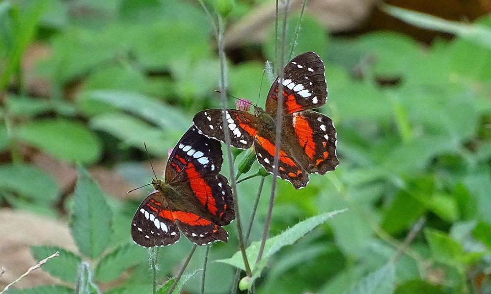 Zwei rote Schmetterlinge