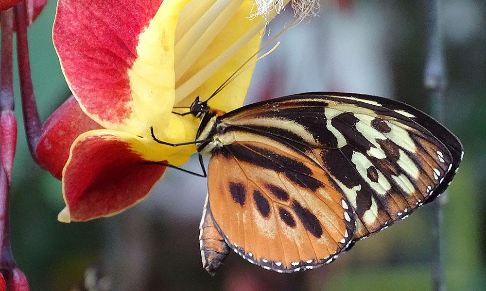 Orangefarbener Schmetterling