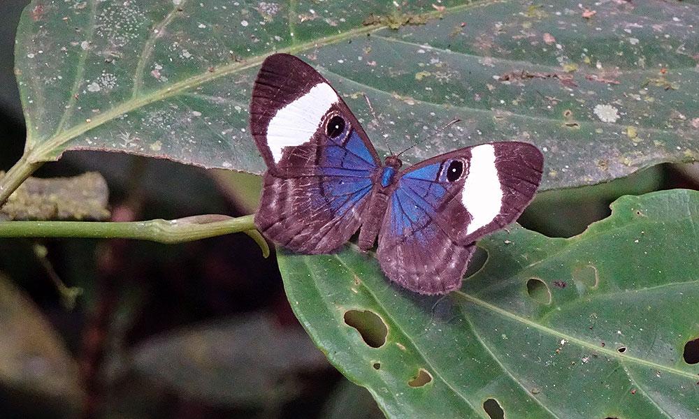 Blau-brauner Schmetterling