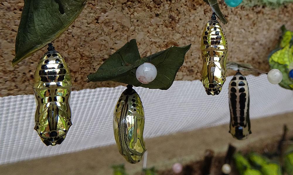 Goldene Schmetterlingspuppen