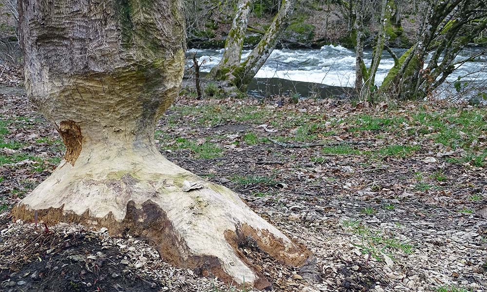 Biberbissspuren am Baum