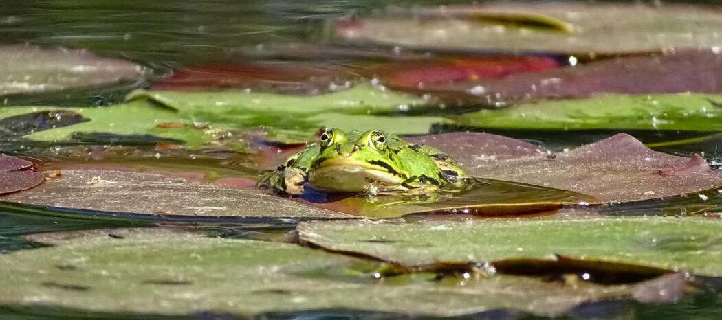 Frosch im Teich in der Drover Heide
