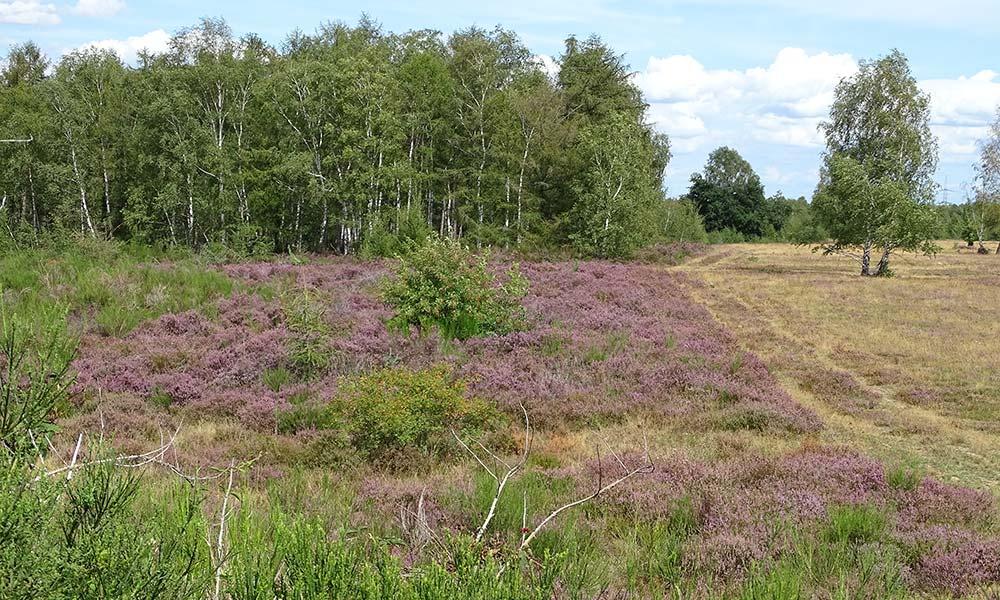 Blick über die Landschaft der Drover Heide mit Heidekraut