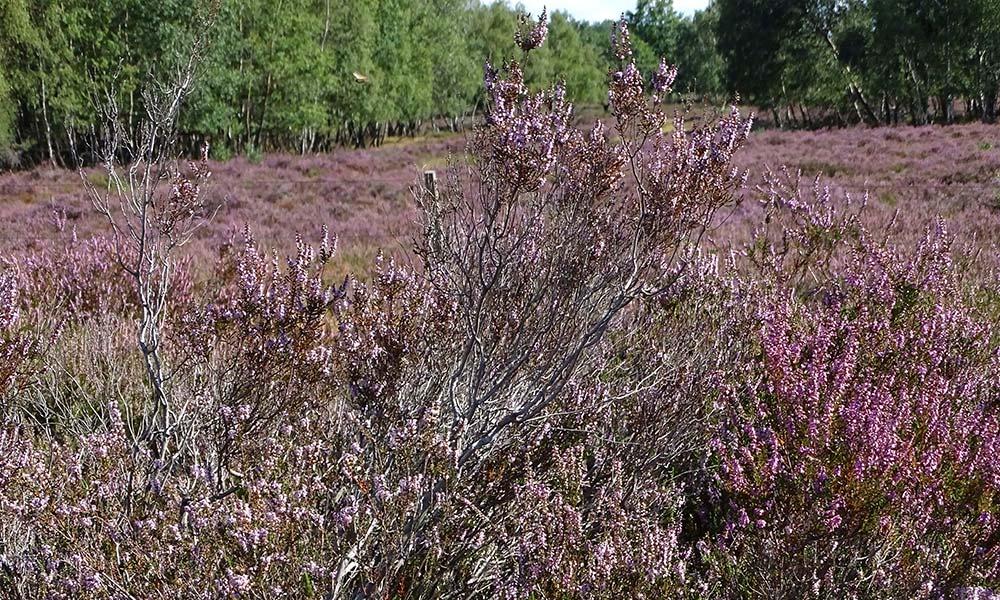 Heidekraut in der Drover Heide