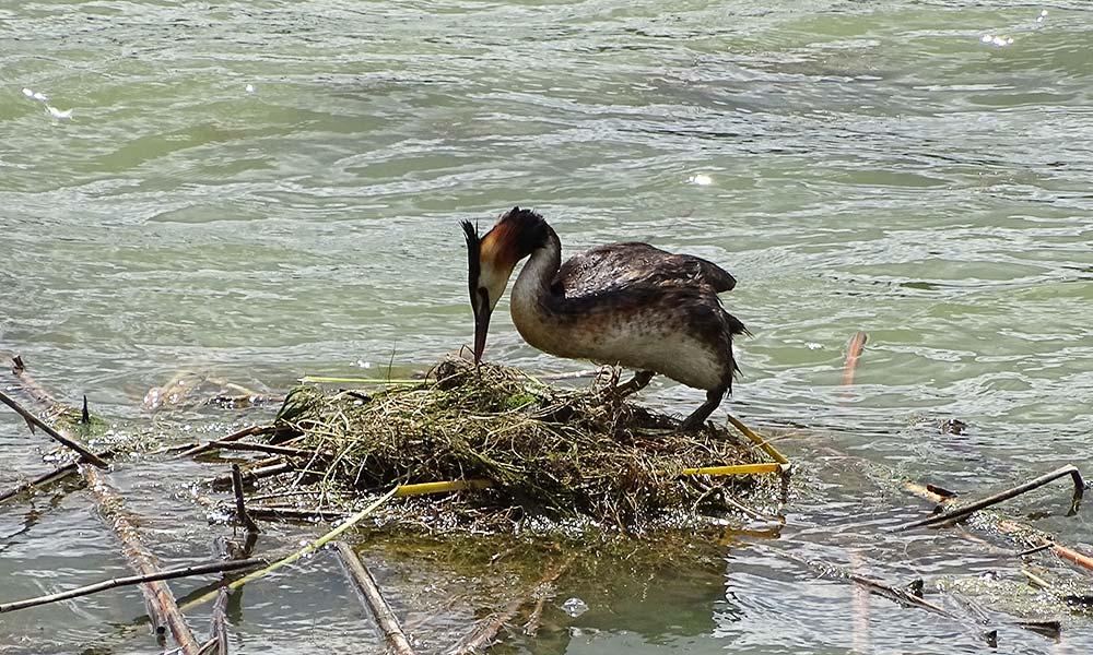Ein Haubentaucher beim Nestbau.