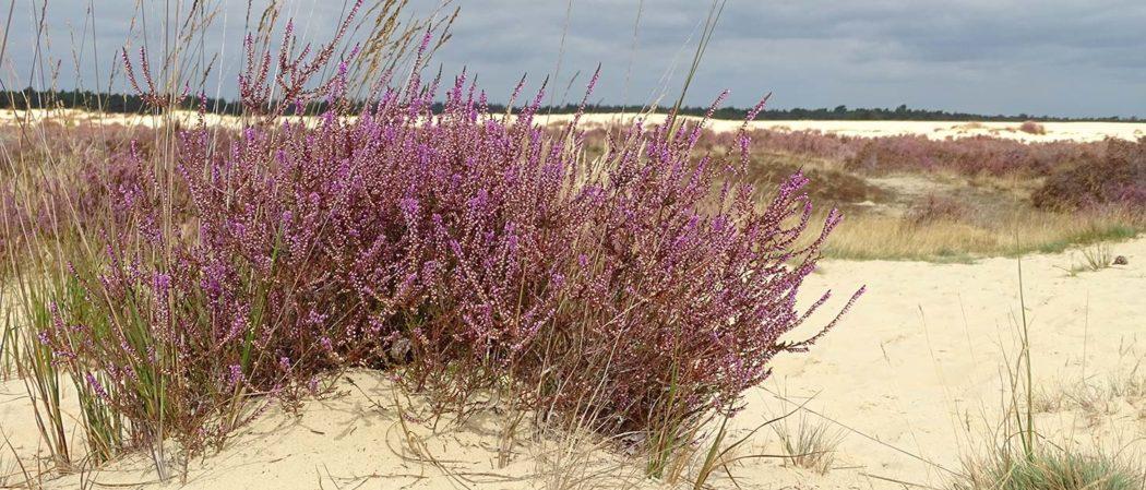 Heidekraut im Sand im Nationalpark De Loonse en Drunense Duinen