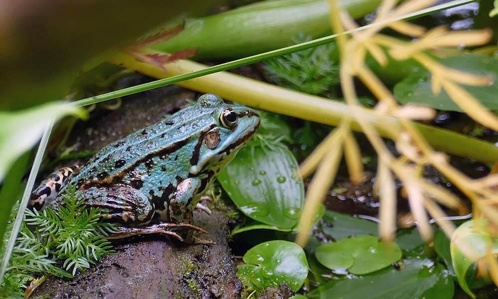 blauer Frosch im Dickicht