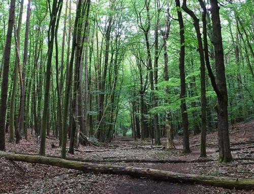 Alte Bäume im Weltnaturerbe Grumsin