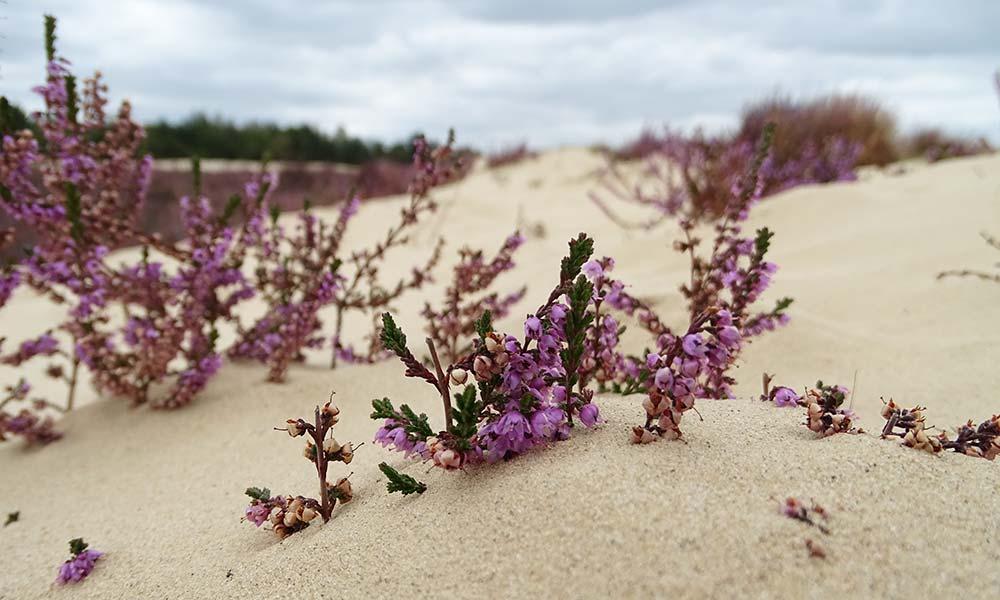 Heideblüten im Sand