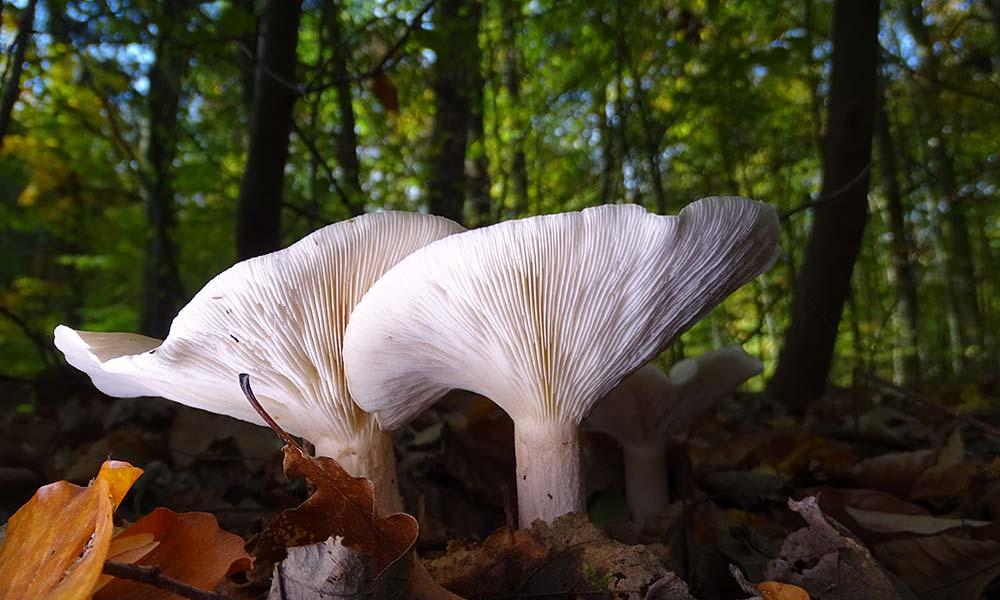 weißer Pilz, angestrahlt