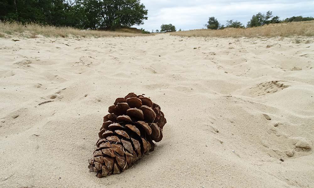 Tannezapfen auf Sandpiste