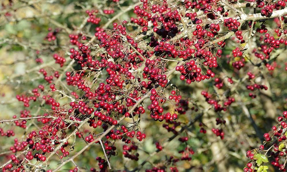 Rote Beeren an einem Strauch