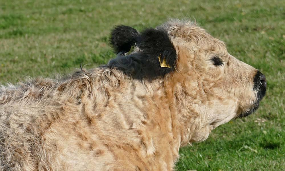 Weißes Rind mit schwarzen Ohren