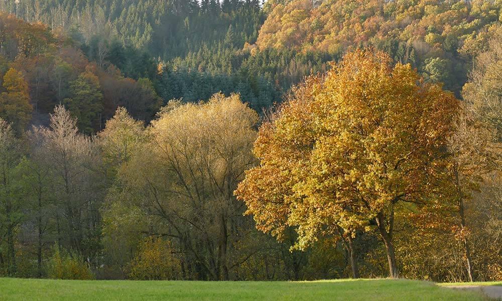 Baum mit gelben Blättern