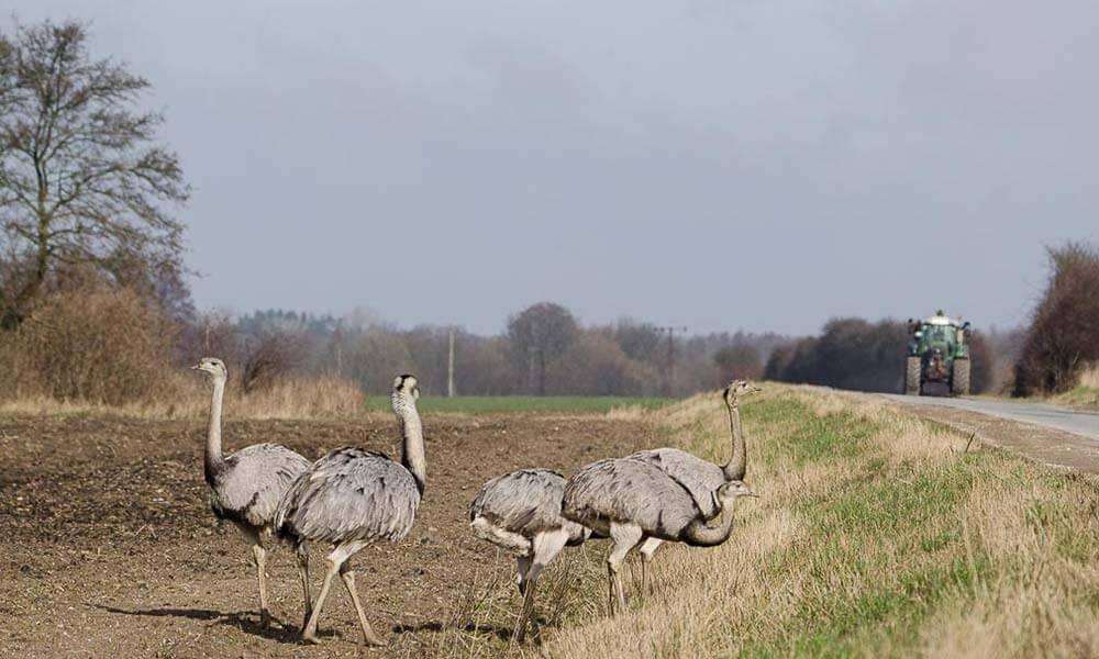 Vier große Schreitvögel am Straßenrand