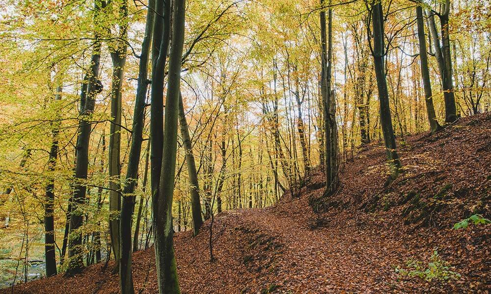 Buchenwald mit gelbem Laub