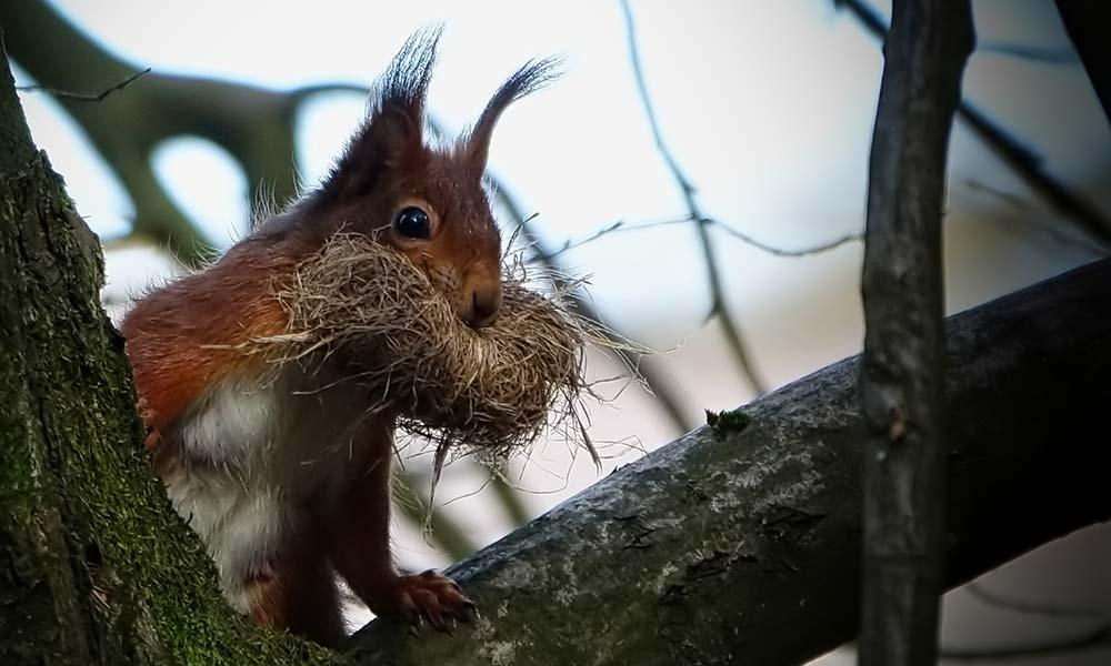 Eichhörnchen mit Baumbast im Maul