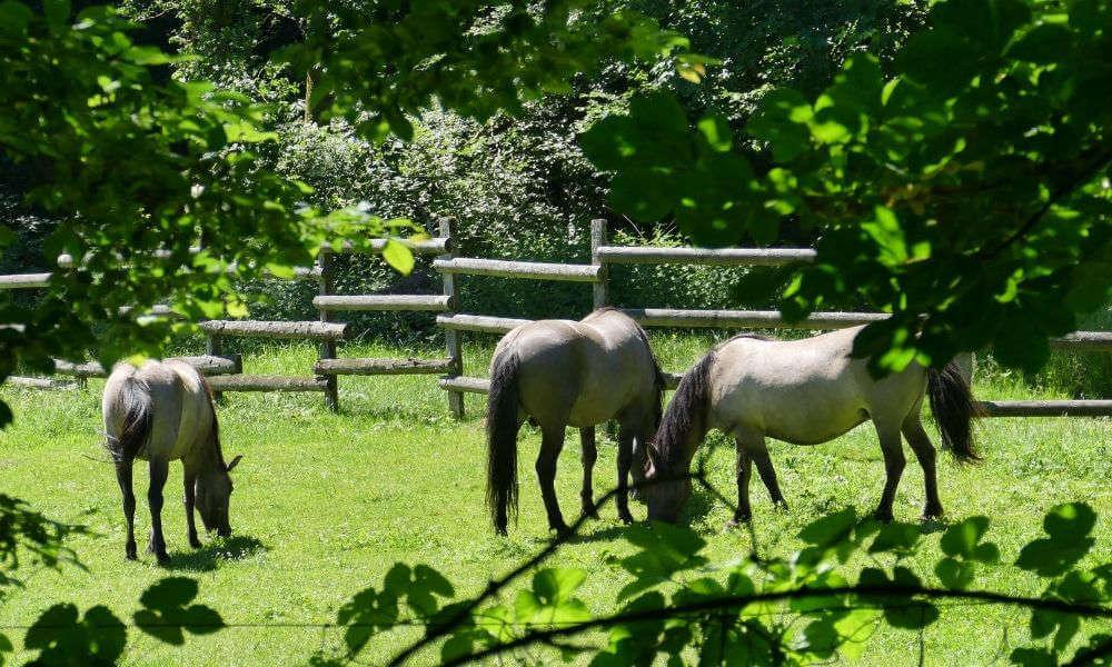 Graue Tarpanpferde auf der Weide