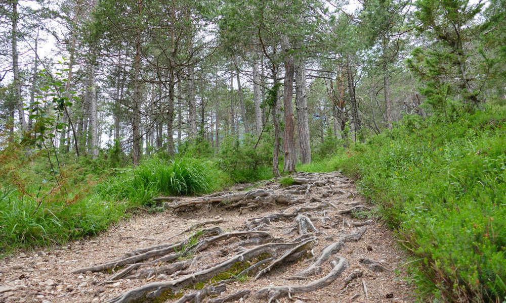 Waldpfad mit vielen Baumwurzeln