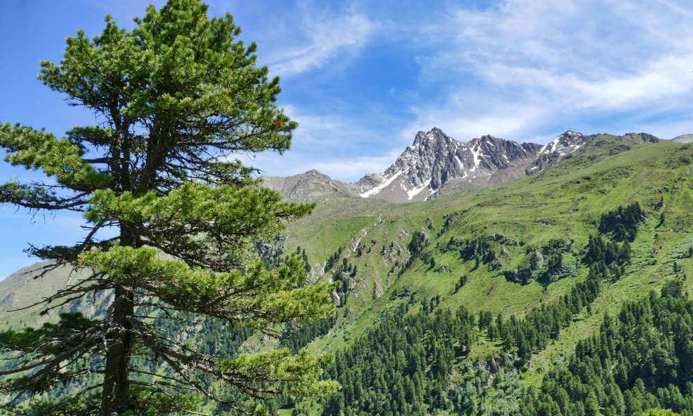 Zirbenbaúm vor Berggipfel