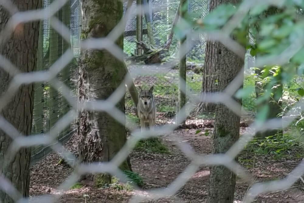 Wolf hinter einem Zaun